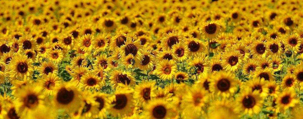 slnečnicové semienka, Slnečnicové semienka: prečo sa oplatí zaradiť ich do jedálnička?