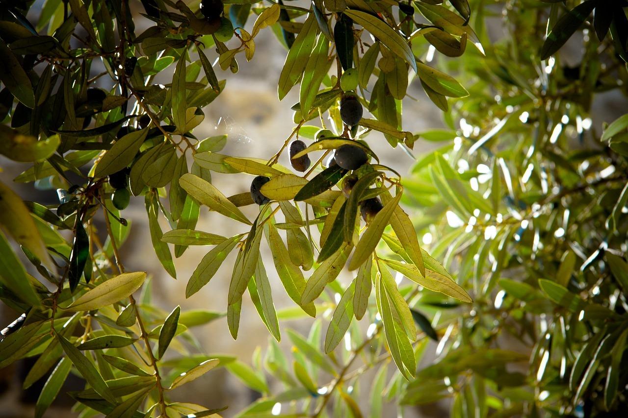 olivy zdravie, Olivy a zdravie: využi v kuchyni naplno výhody nenasýtených tukov